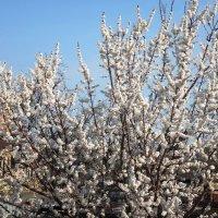 Белой пеной у нас сады цветут весной :: Наталья Красильникова
