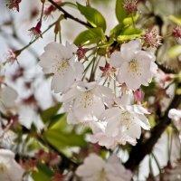 Прекрасной сакуры цветение :: Ольга Винницкая (Olenka)
