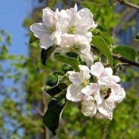 Распускающихся яблонь кружевные облака :: Татьяна Смоляниченко