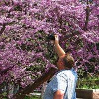 Кто хотя бы единожды увидел цветущий церцис, не забудет это великолепное зрелище! :: Татьяна Смоляниченко