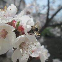 Пчелки и абрикос. :: Алексей Кузнецов