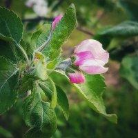 Осенью будут яблочки :: Валерий Ткаченко