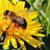 Одуванчик с пчёлкой :: Надежд@ Шавенкова