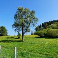 старые деревья на лугу :: Heinz Thorns