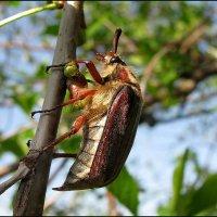 Майский жук :: sm-lydmila Смородинская
