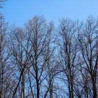 верхушки деревьев :: Сергей Лындин