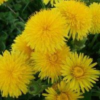Золотится трава от медовых цветов... :: Анна VL