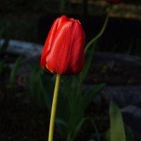 Красный тюльпан :: София