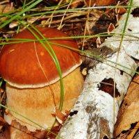 Пузатенький белый гриб :: Валентина Пирогова
