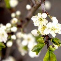 Весенний цвет :: Валерий