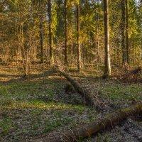 Пргулки в Весеннем Лесу :: юрий поляков