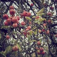Райские яблоки. :: Андрий Майковский