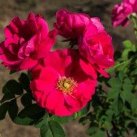 Яркость и красота канадских роз... :: Николай Зиновьев