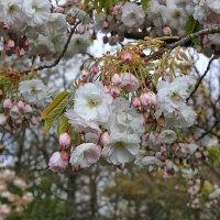 Роскошь цветения :: Nina Karyuk