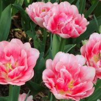 Пора тюльпанов... :: Тамара (st.tamara)
