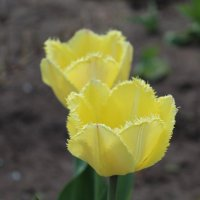 Желтые тюльпаны :: Татьяна Са
