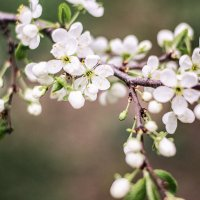 Цветение вишни :: Julia Volkova