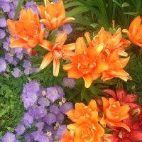 Оранжевые лилии :: minchanka