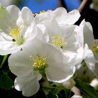 Яблоня в цвету :: Надежд@ Шавенкова