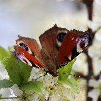 Бабочка :: Колибри М