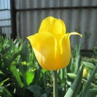 Желтый тюльпан :: Алексей Кузнецов