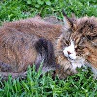 Соседский кот Сеня. :: Михаил Столяров