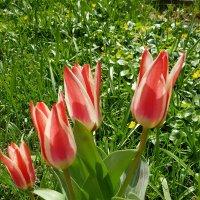 Тюльпаны :: Генрих
