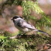 Птичка-невеличка, как тебя зовут? :: владимир тимошенко