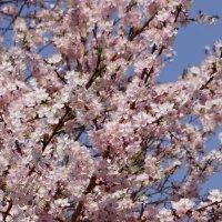 Цветение весны :: Наталия Григорьева