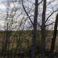 Три весенних дерева :: Александр Русинов