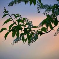 Черёмушка цветёт ... :: Евгений Хвальчев