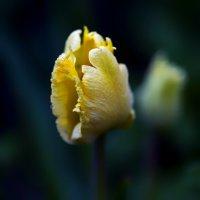 tulip :: Zinovi Seniak