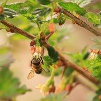 Пчелка на крыжовнике :: Татьяна Ломтева