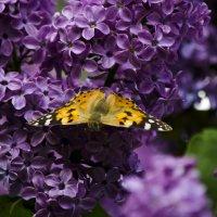 Бабочка на сиреневом кусте :: Татьяна Евдокимова
