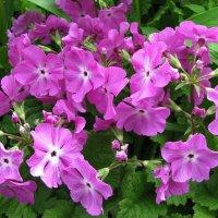Примула цветёт :: sm-lydmila Смородинская
