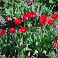 Тюльпаны цветут :: Наталья Красильникова