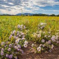 полевые цветы :: vusovich oleg