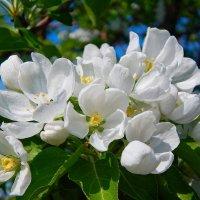 Когда цветут сады! :: Елена (Elena Fly) Хайдукова
