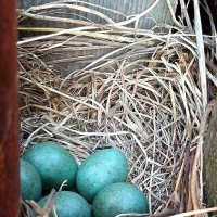 Скоро появятся птенцы дрозда :: Marina Pelymskaya