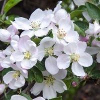 Яблони в цвету :: Kliwo