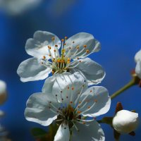 cherry blossom :: Zinovi Seniak