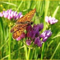 Бабочкина радость :: Геннадий Худолеев