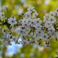 Любимый месяц май в цветении вишни белоснежной... :: Ольга Русанова (olg-rusanowa2010)
