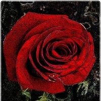 В мире красных роз :: Нина Корешкова