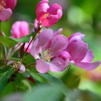 Любви небесной яблоневый цвет... :: Ольга Русанова (olg-rusanowa2010)