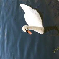 Лебедь в Лианозово :: Evgeniy Olenkov