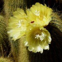Цветы кактуса :: Лидия Бусурина