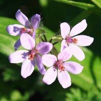 цветок IMG_0585 :: Олег Петрушин
