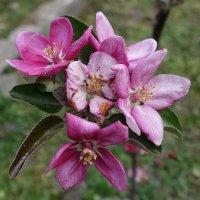 Цветёт яблоня :: Маргарита Батырева