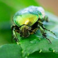 Как называется жук? :: Alex Bush